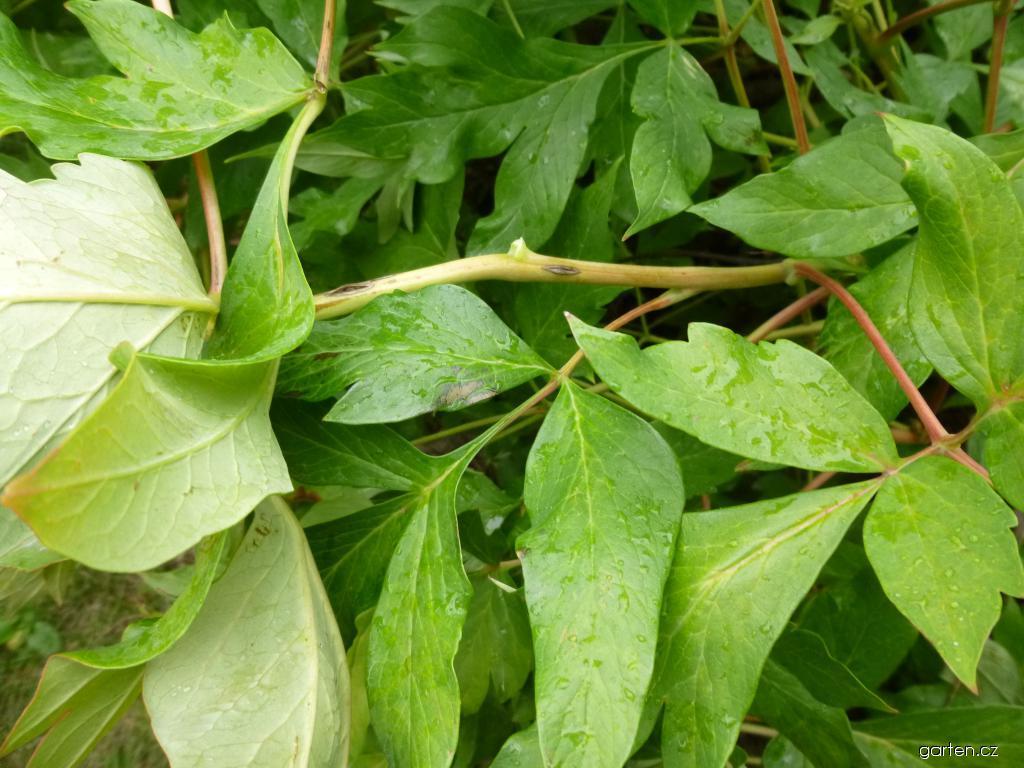 Pivoňka dřevitá - listy (Paeonia suffruticosa)