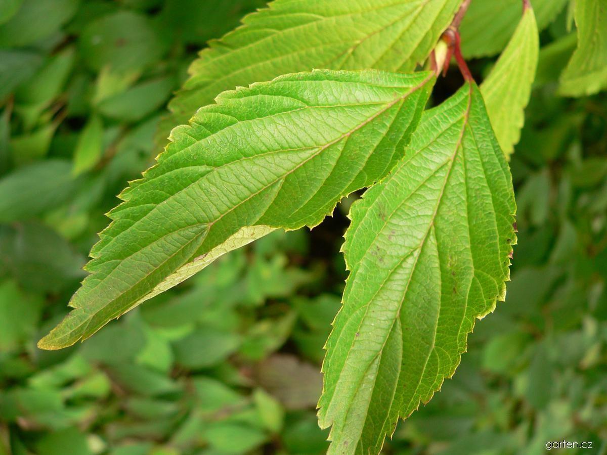 Kalina vonná - listy (Viburnum farreri)