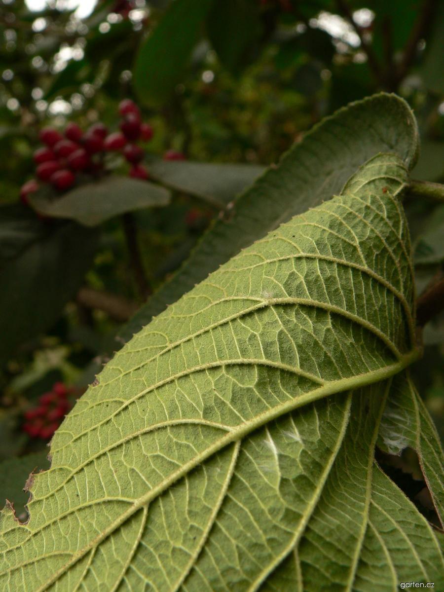 Kalina tušalaj - listy (Viburnum lantana)
