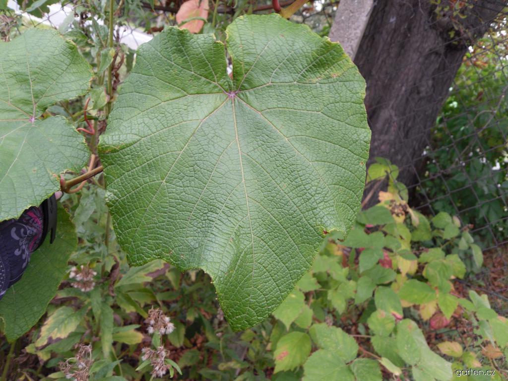 Réva japonská - listy (Vitis coignetiae)