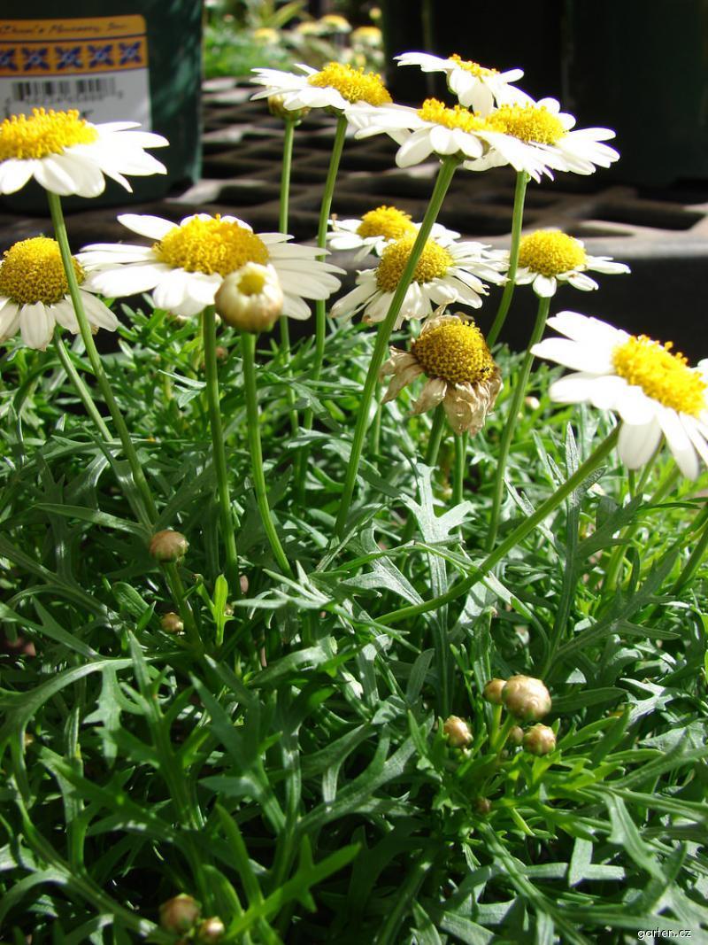 Paris daisy - White Imperial flowering habit (Argyranthemum frutescens)