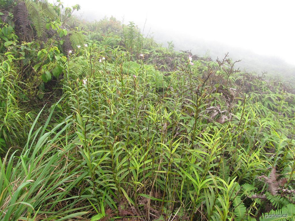 Bamboo Orchid - flowering habit (Arundina graminifolia)