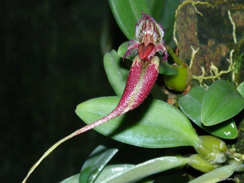 Bulbofylum (Bulbophyllum fascinator)
