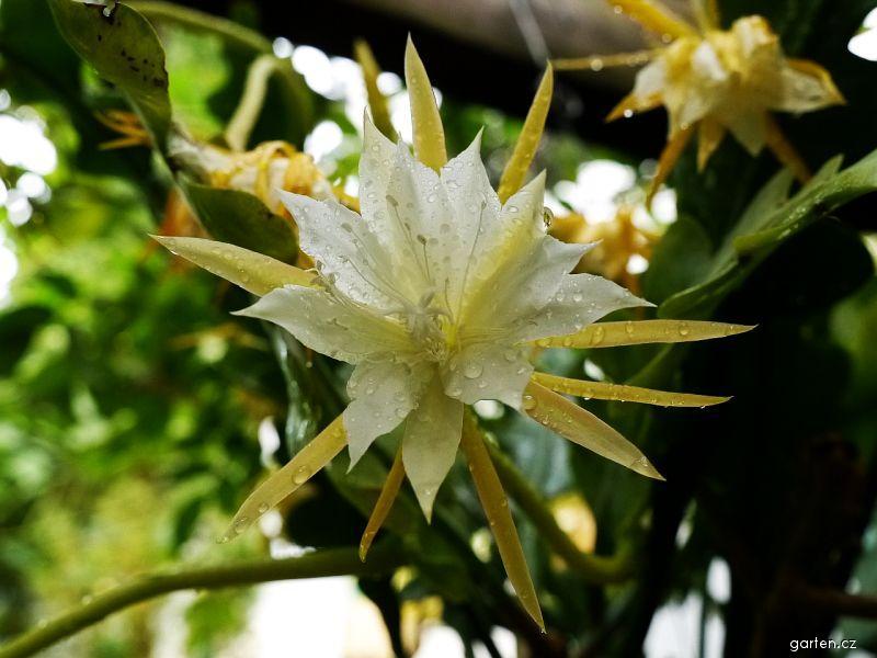 Epifylum (Epiphyllum anguliger)
