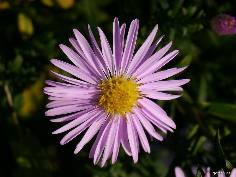 Hvězdnice křovitá Rozika (Aster dumosus)