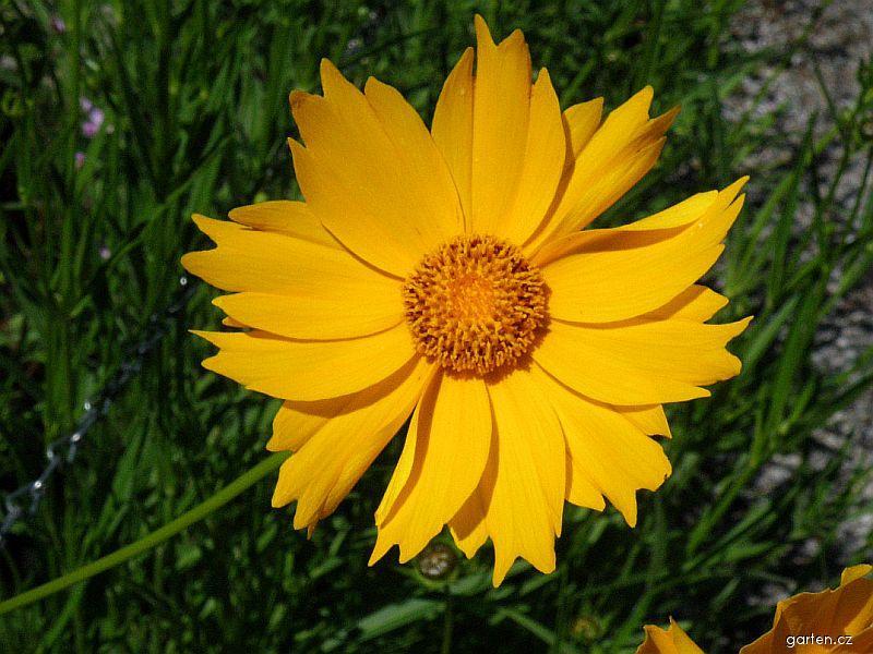 Kokarda osinatá (Gaillardia aristata)