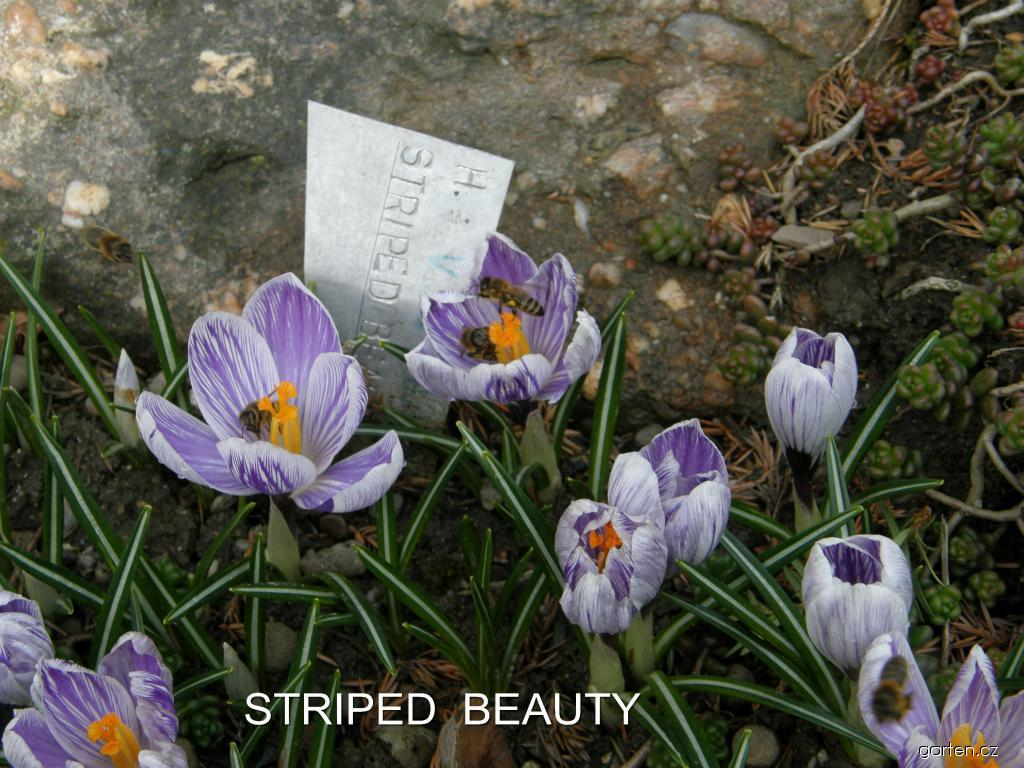 Šafrán jarní Striped Beauty (Crocus vernus)