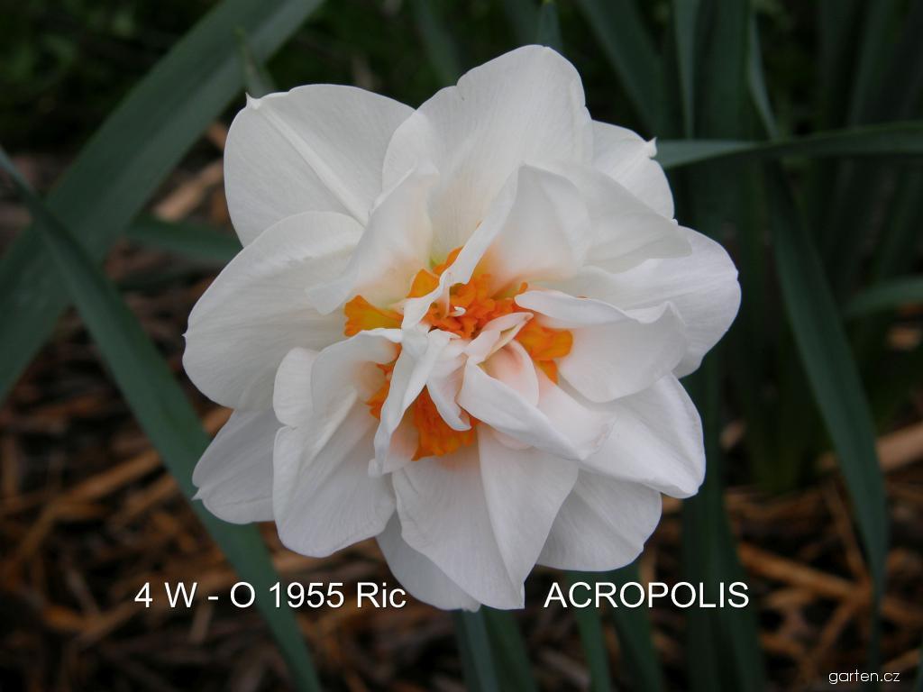 Narcis Acropolis - Plnokvěté narcisy (Narcissus x hybridus)