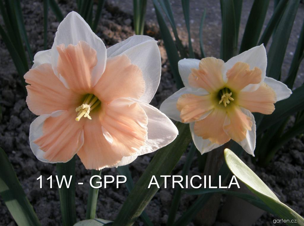 Narcis Atricilla - Collar narcisy (Narcissus x hybridus)