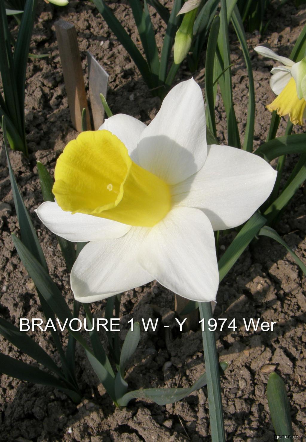 Narcis Bravoure - Trubkovité narcisy (Narcissus x hybridus)