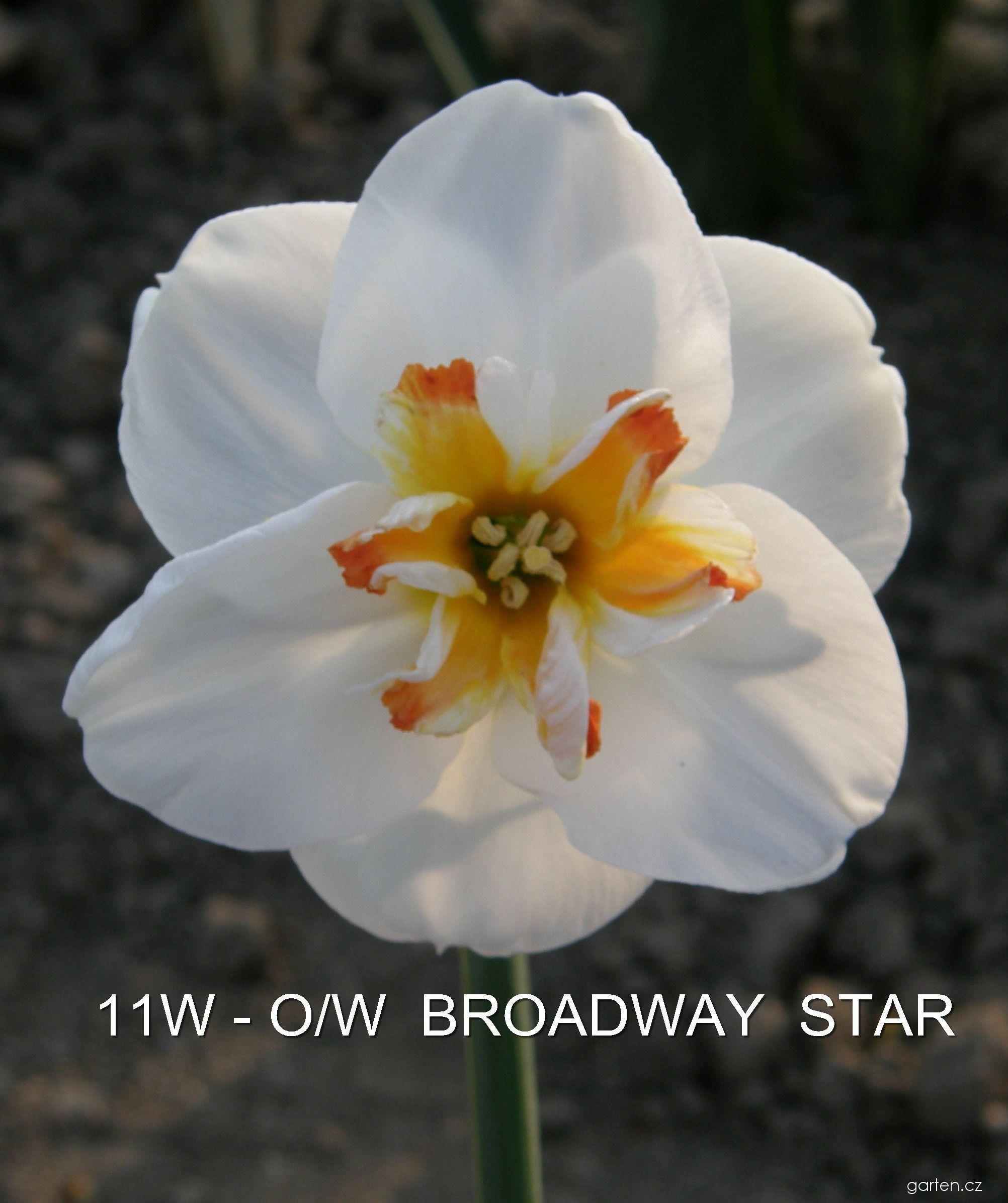 Narcis Broadway - Collar narcisy (Narcissus x hybridus)