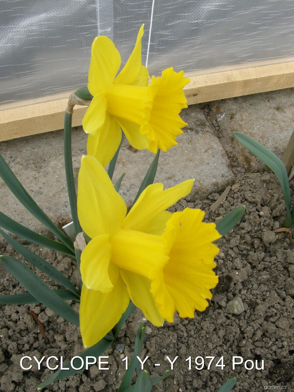 Narcis Cyclope (Narcissus x hybridus)