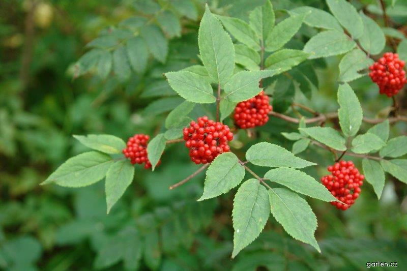 Bez hroznatý (Sambucus racemosa)