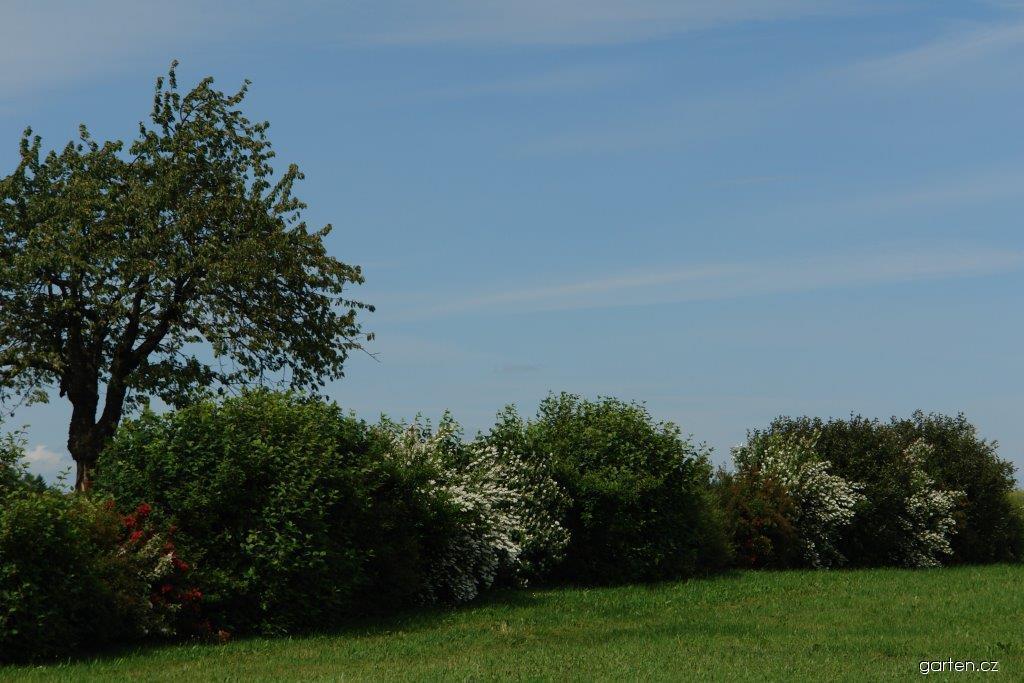 Živý plot z původních druhů kěřů volně rostoucí doplněný o právě kvetoucí pustoryl a vajgélie