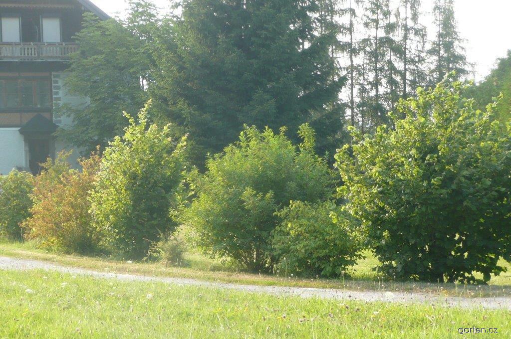 Živý plot z původních druhů kěřů netvarovaný volně rostoucí