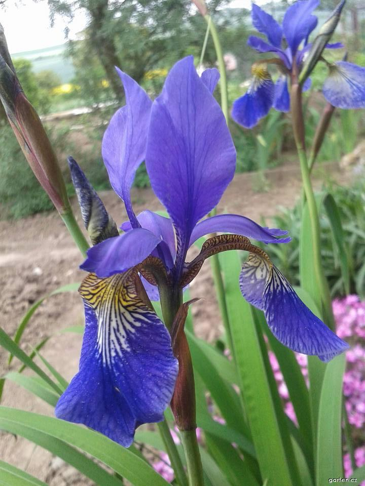 Kosatec sibiřský Persimon (Iris sibirica)