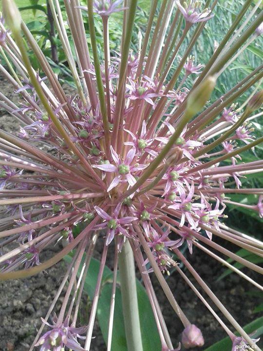 Česnek Schubertův (Allium schubertii)