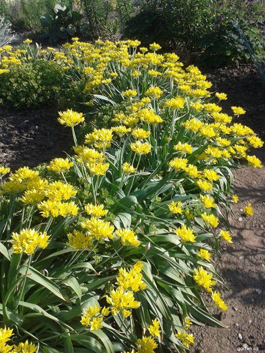 Česnek zlatožlutý (Allium moly)