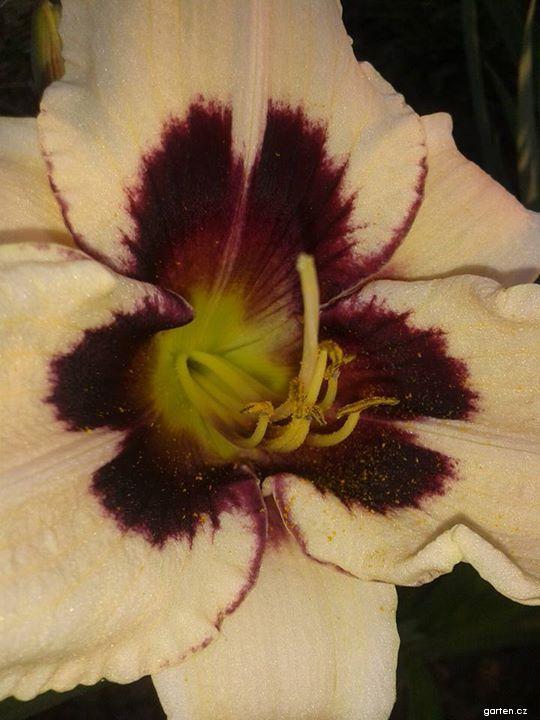 Denivka Moonlit Masquerade (Hemerocallis)