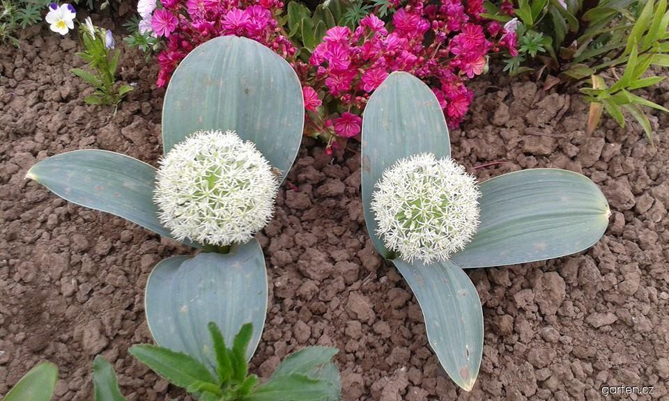 Česnek karatavský Ivory Queen (Allium karataviense)