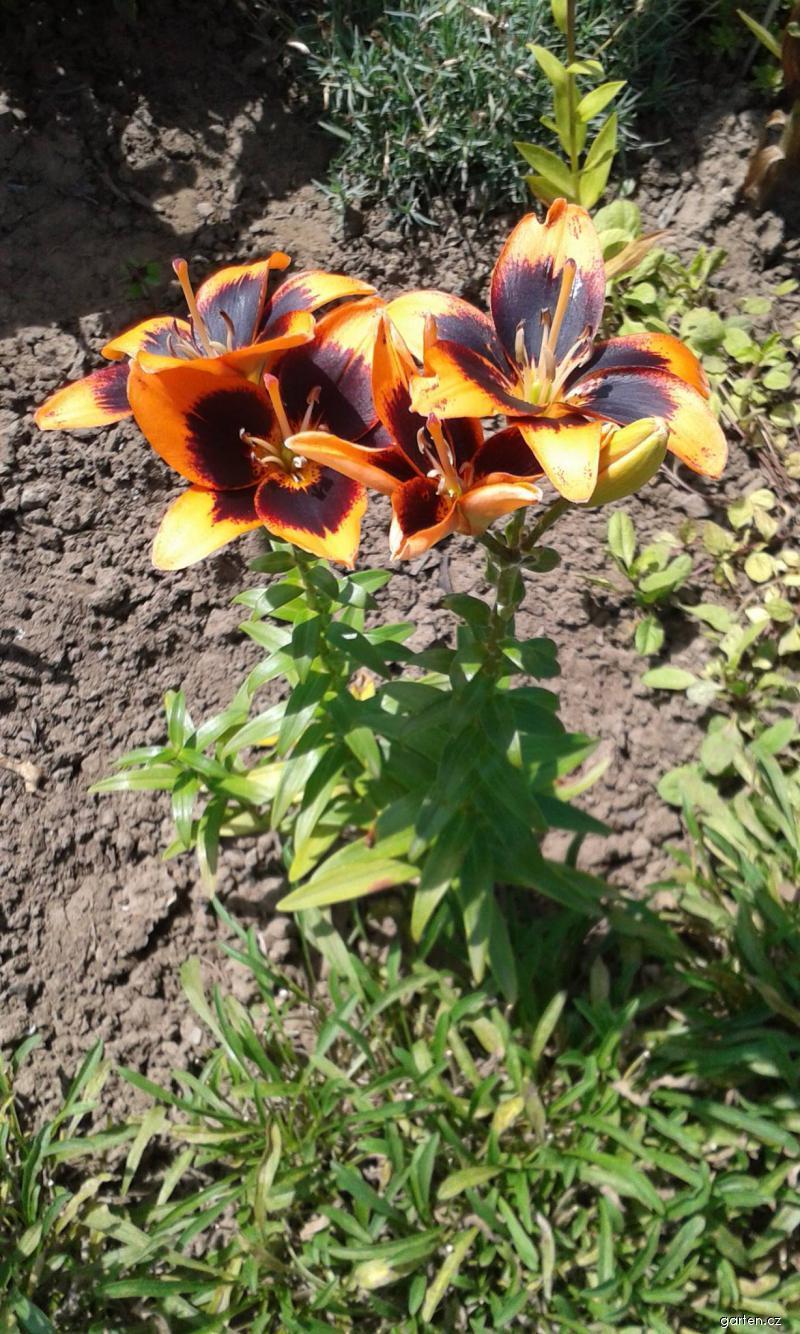 Lilie Easy Salsa - Asijský hybrid (Lilium x hybridum)