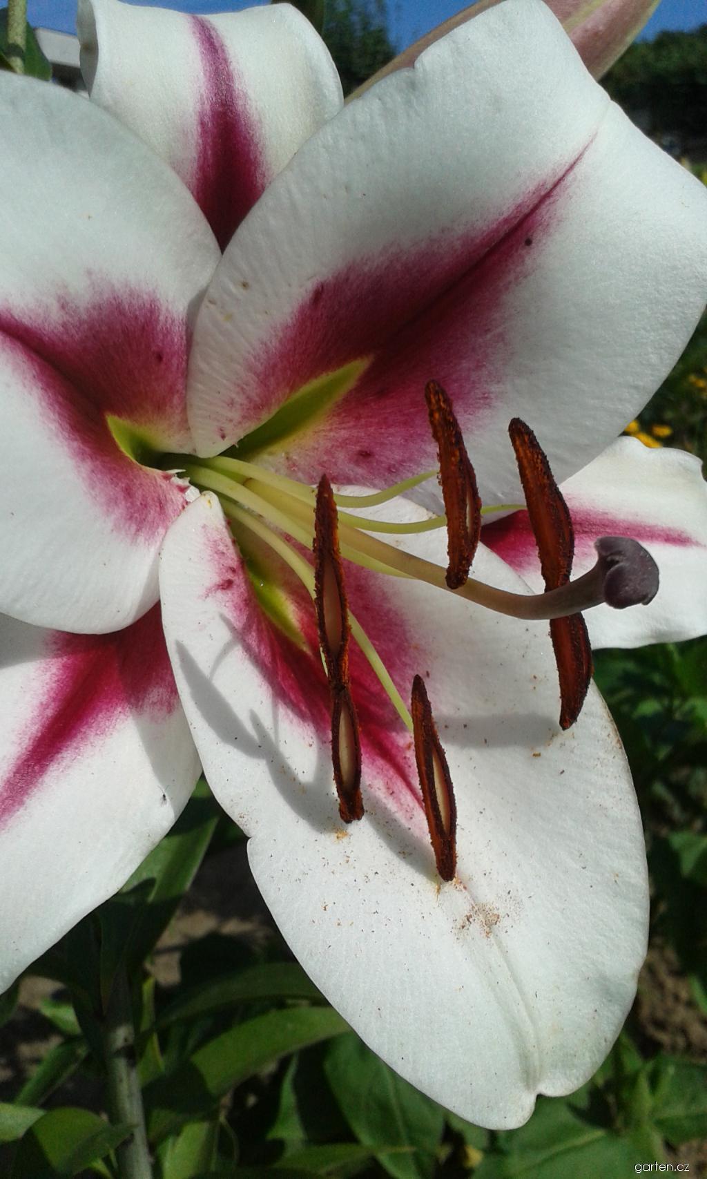 Lilie Gaucho - OT hybridy (Lilium x hybridum)