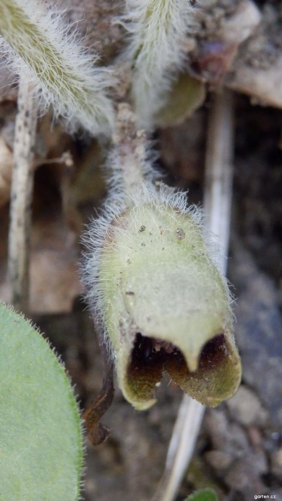 Kopytník evropský (Asarum europaeum)