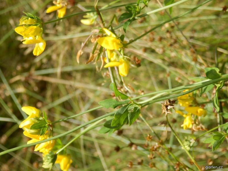 Štírovník bažinný (Lotus uliginosus)