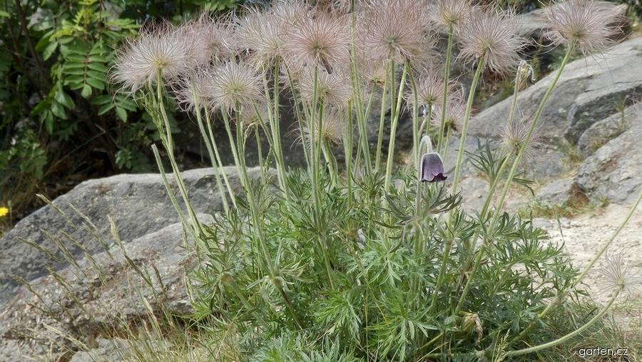 Koniklec luční český (Pulsatilla pratensis subsp bohemica)