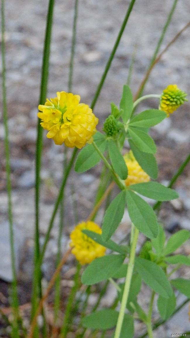 Jetel zlatý (Trifolium aureum)