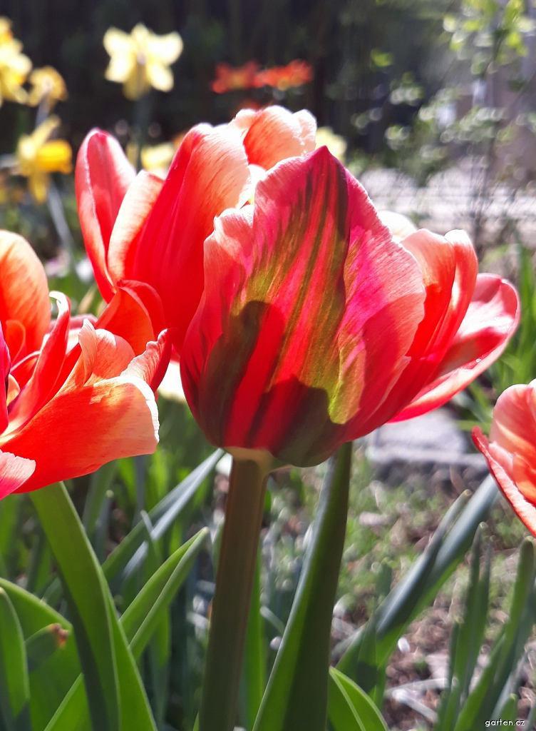 Tulipán Pink Star - Plné pozdní tulipány (Tulipa x hybrida)