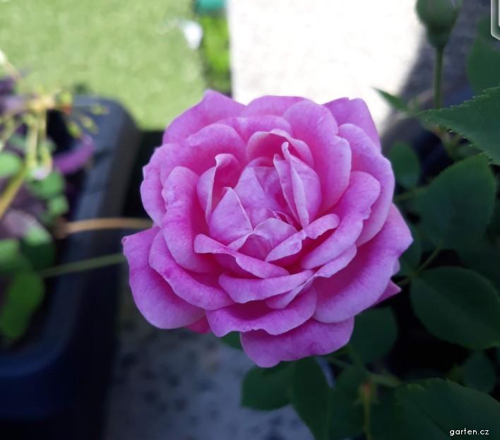 Růže Hermosa - Historické růže (Rosa)