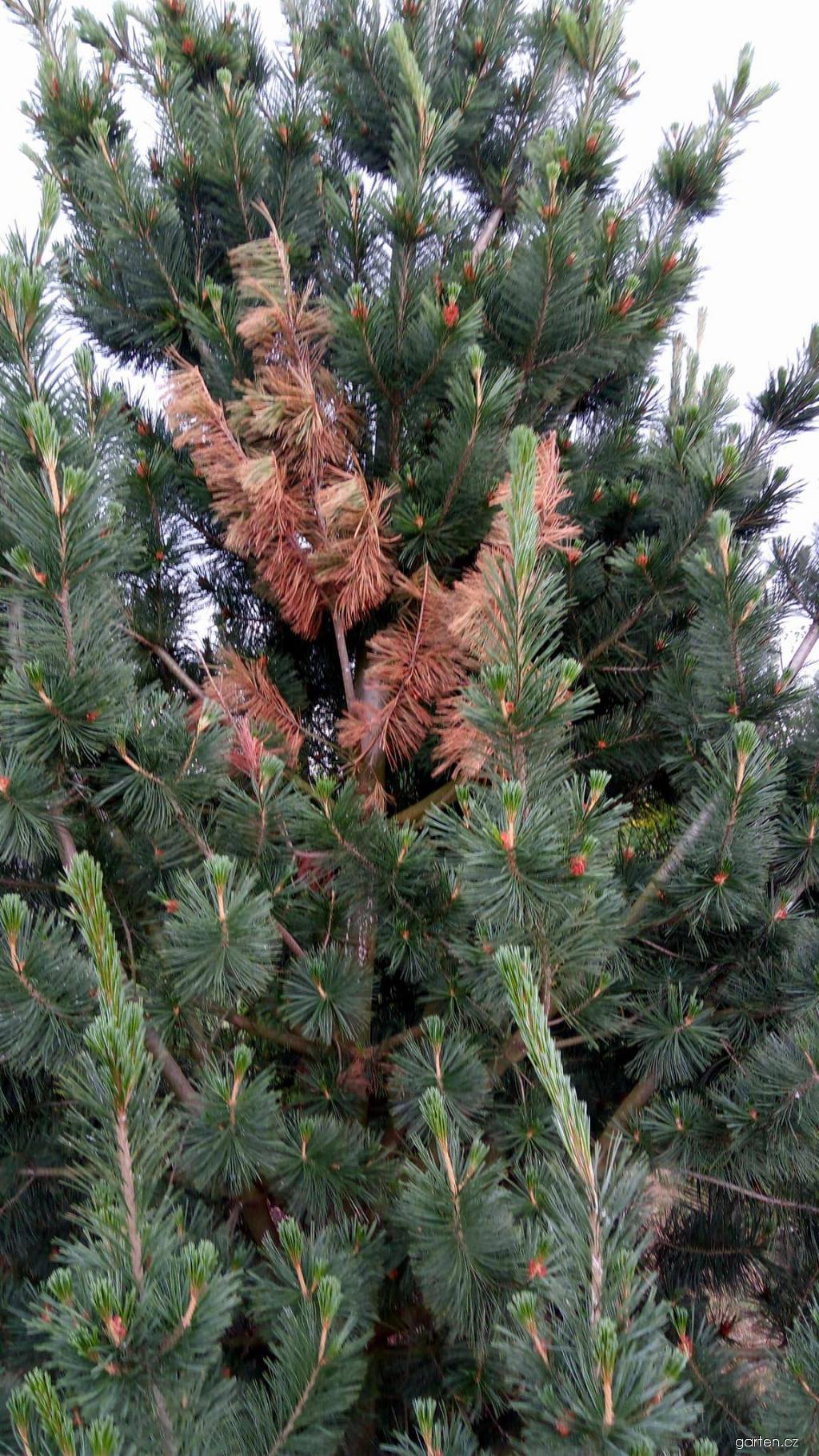 Borovice - choroba (Pinus)