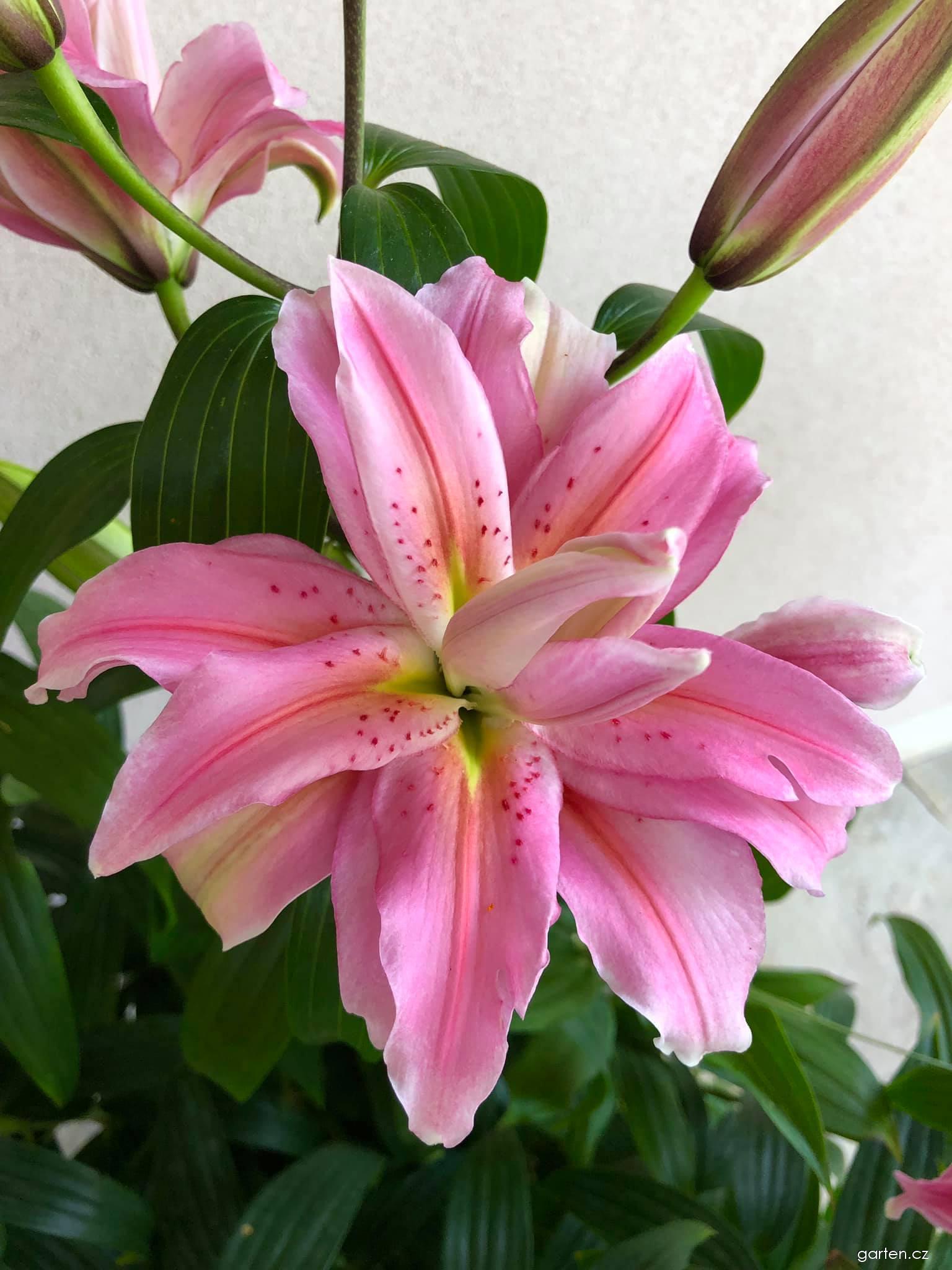 Lilie Roselily Natalia - Orientální hybridy (Lilium x hybridum)