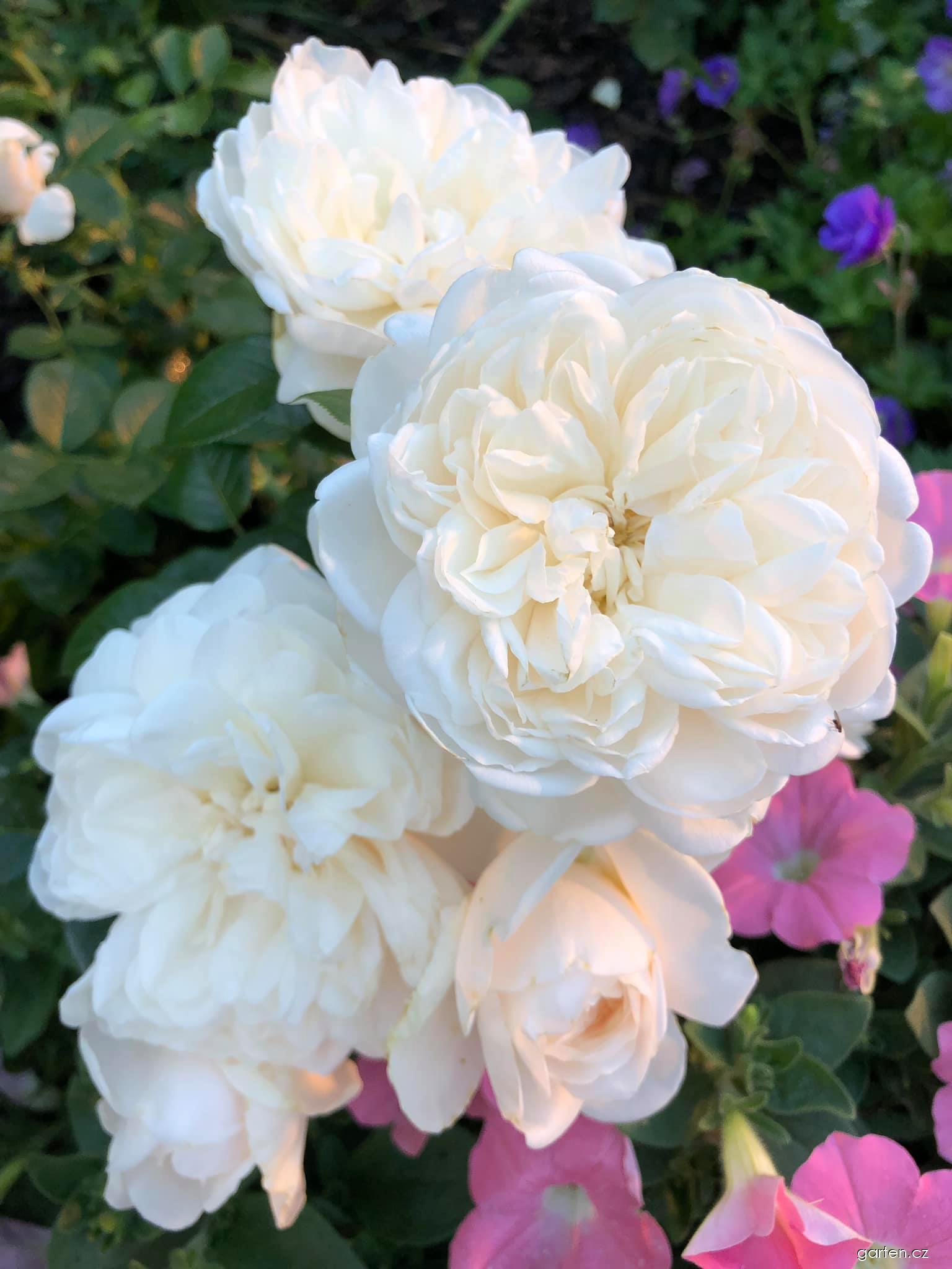 Růže Summer Memories (Rosa)