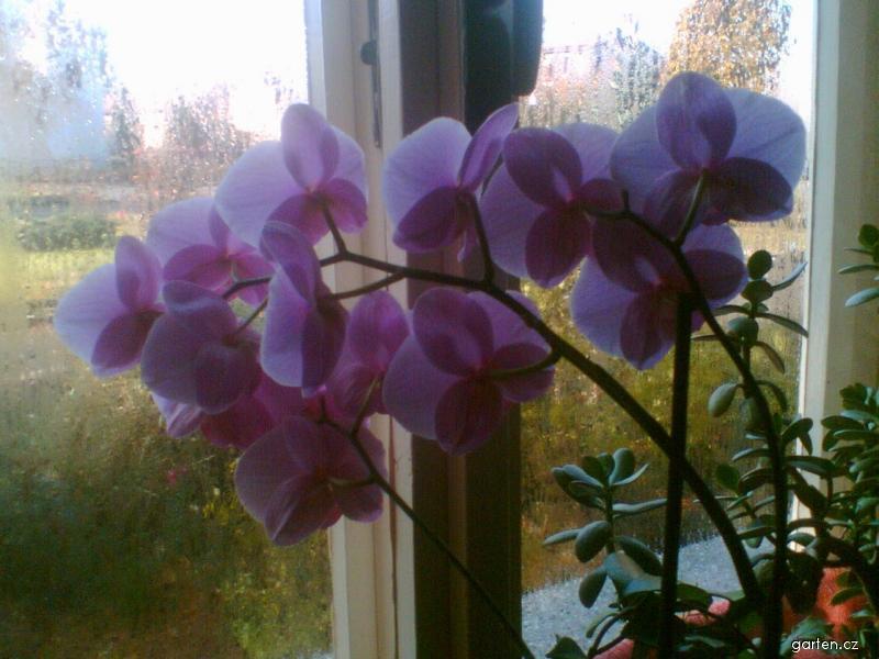 Můrovec (Phalaenopsis)