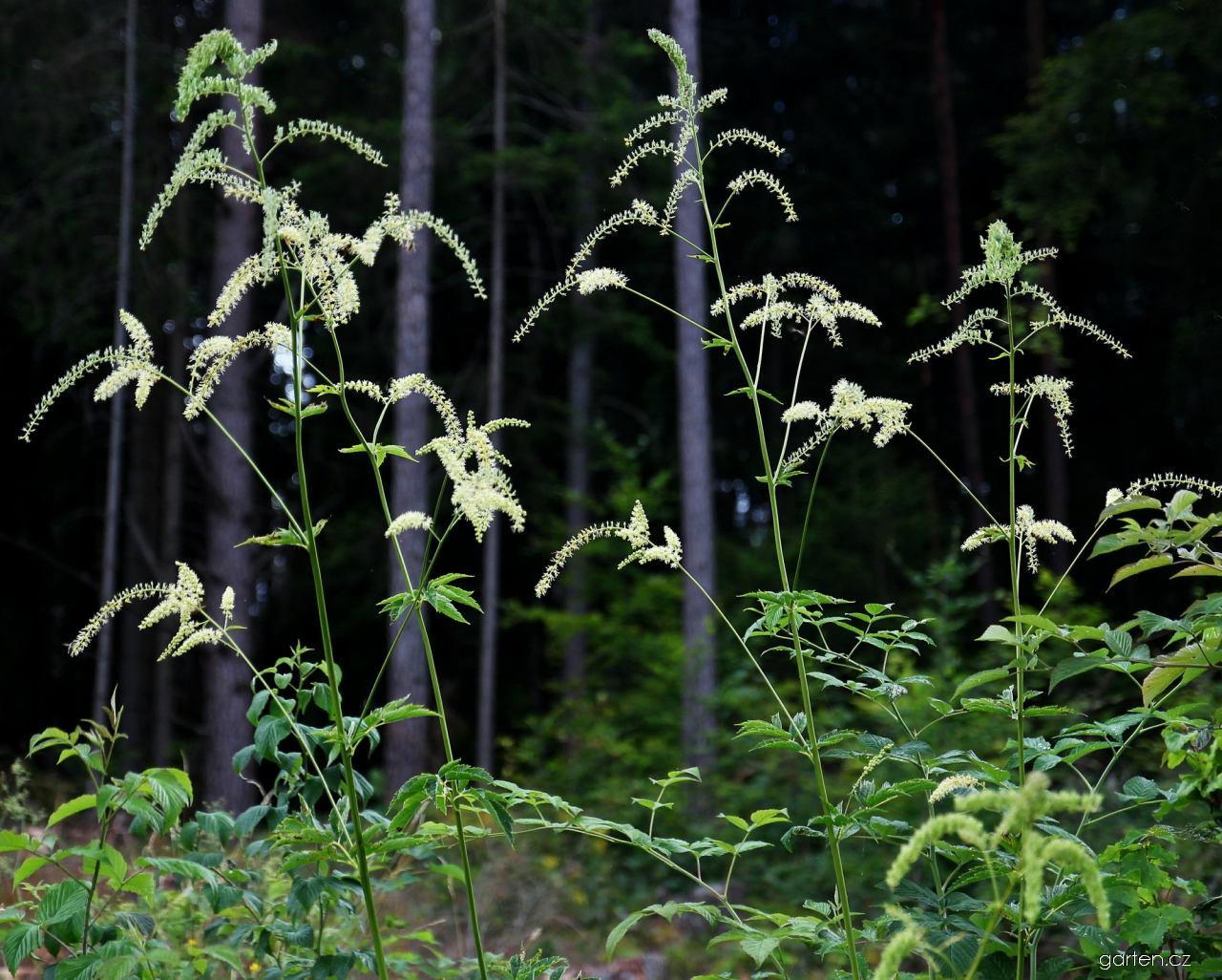 Ploštičník evropský (Actaea europaea)