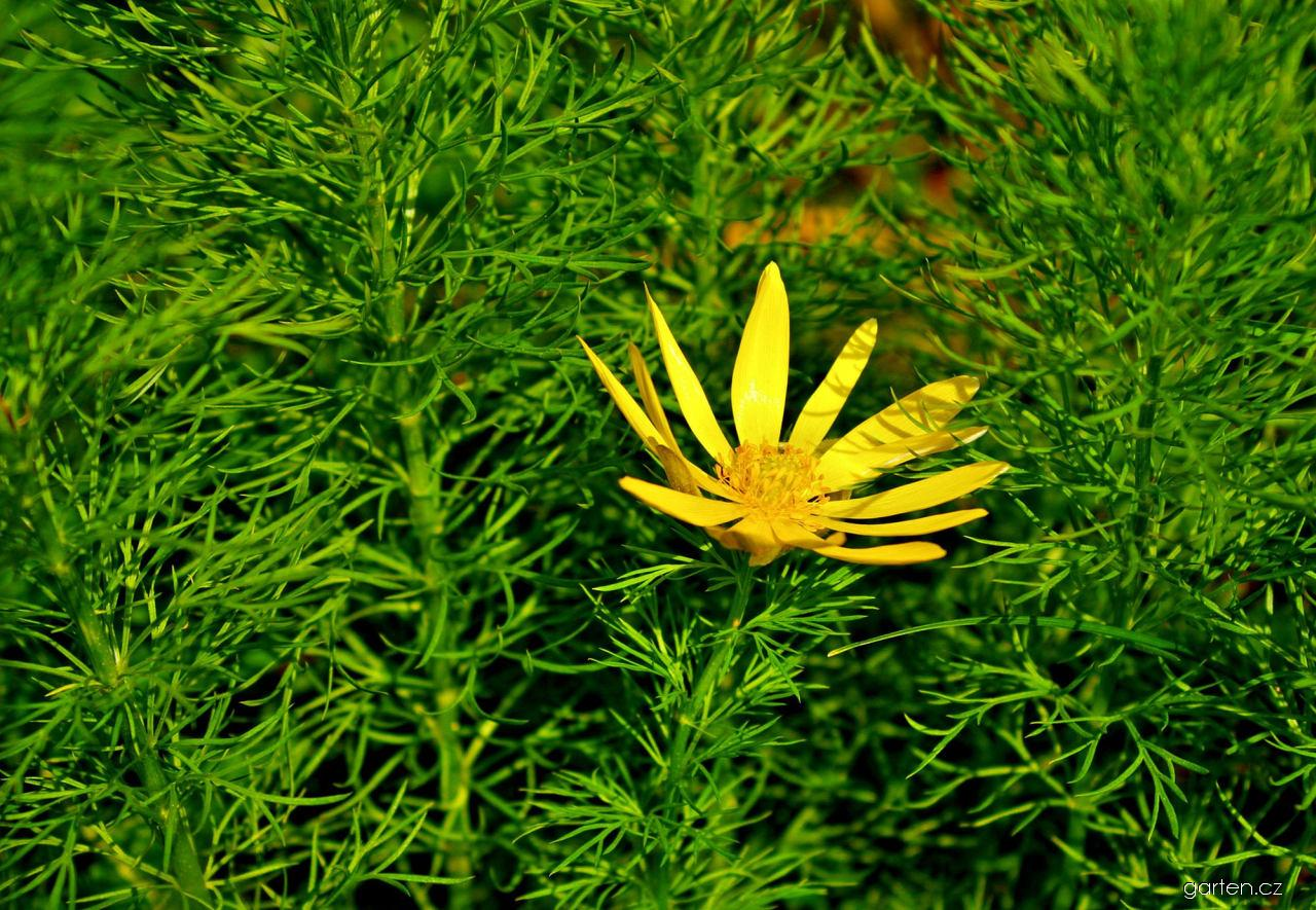 Hlaváček jarní - květ (Adonis vernalis)