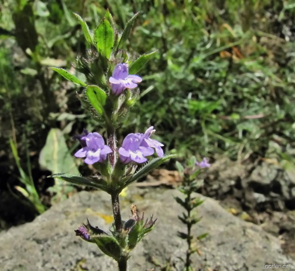Pamětník rolní - květy (Acinos arvensis)