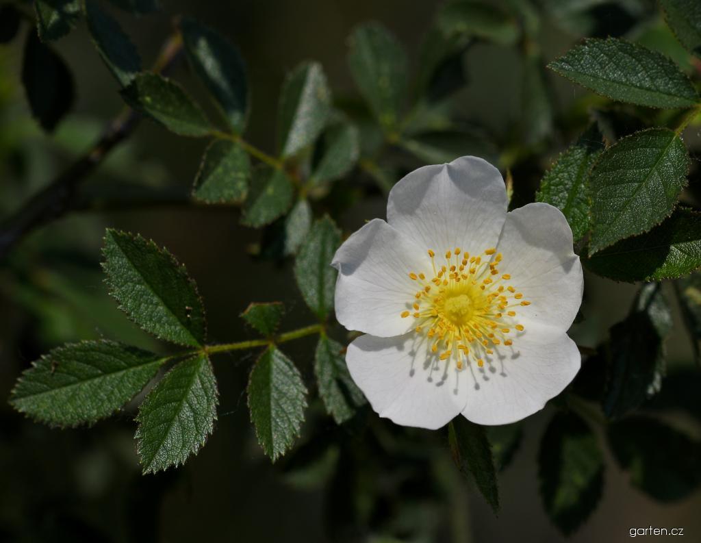 Růže oválnolistá - květ (Rosa elliptica)