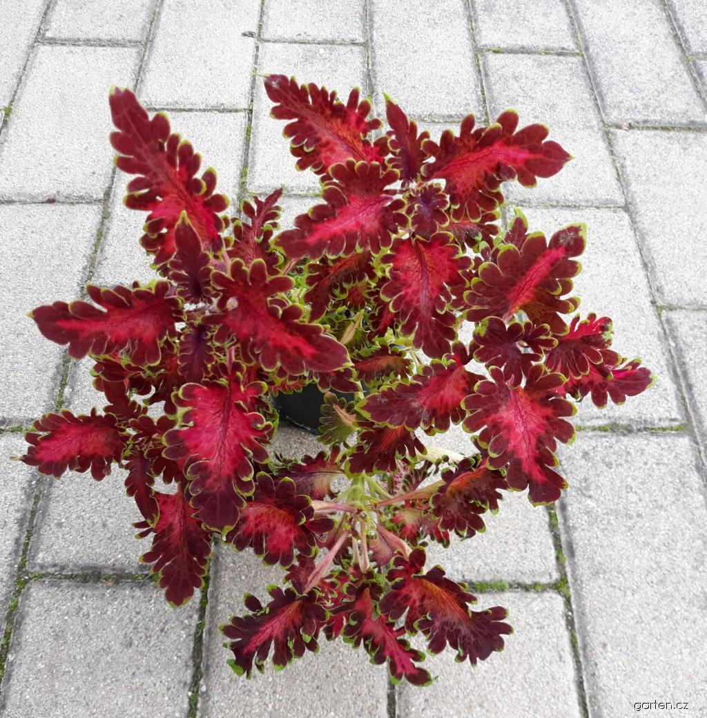 Africká kopřiva Ruffles Bordeaux (Coleus blumei)
