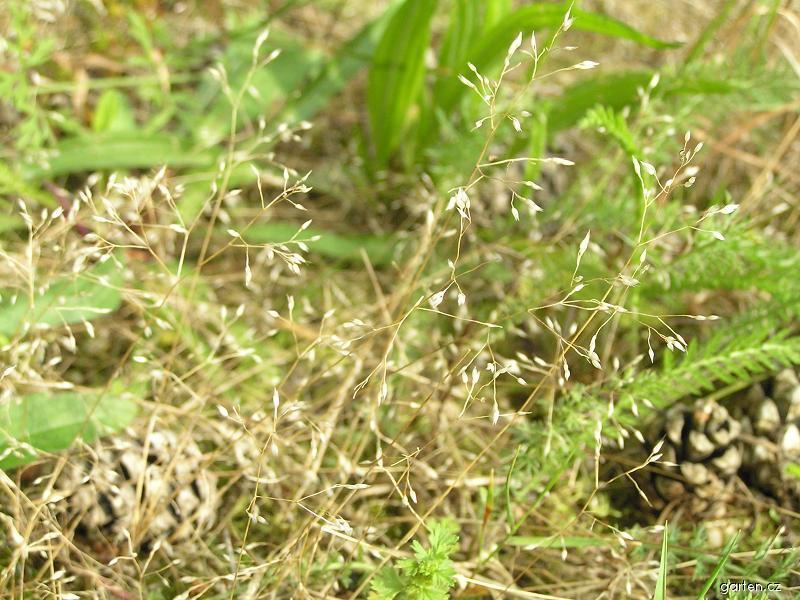 Ovsíček obecný (Aira caryophyllea)
