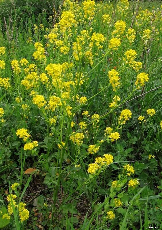 Barborka obecná obloučnatá (Barbarea vulgaris subsp arcuata)