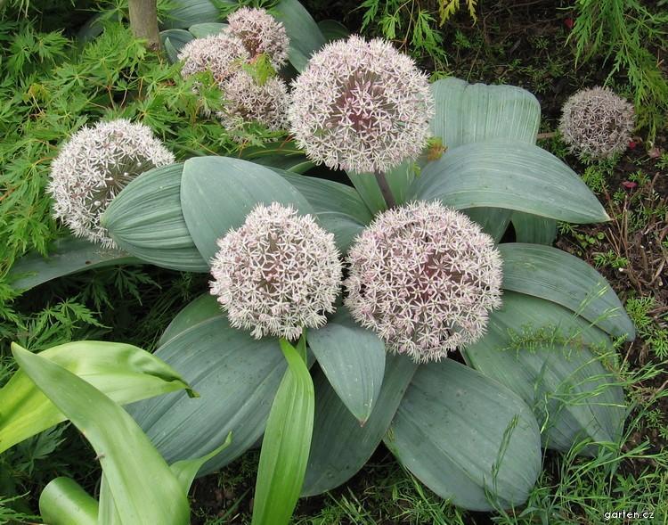 Česnek karatavský (Allium karataviense)