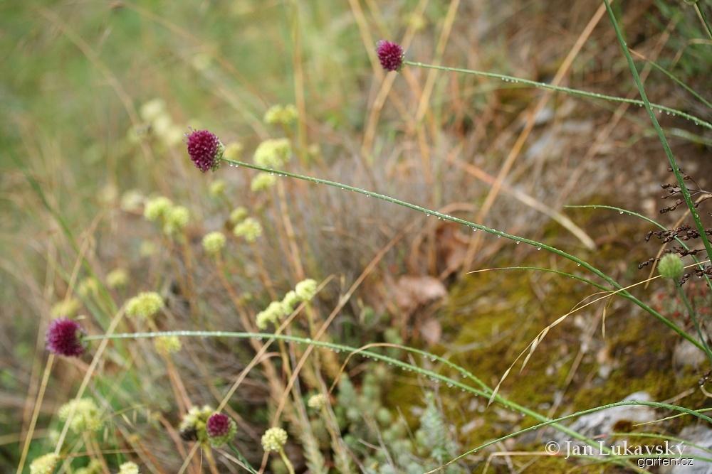 Česnek kulatohlavý - květ (Allium sphaerocephalon)