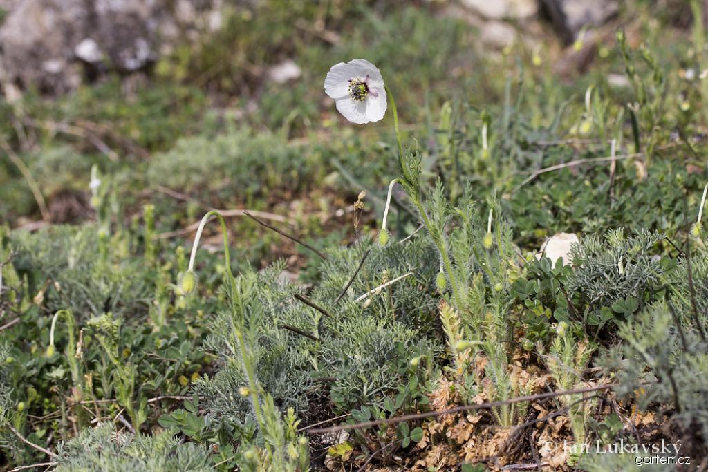 Mák bělokvětý jihomoravský (Papaver maculosum subsp austromoravicum)