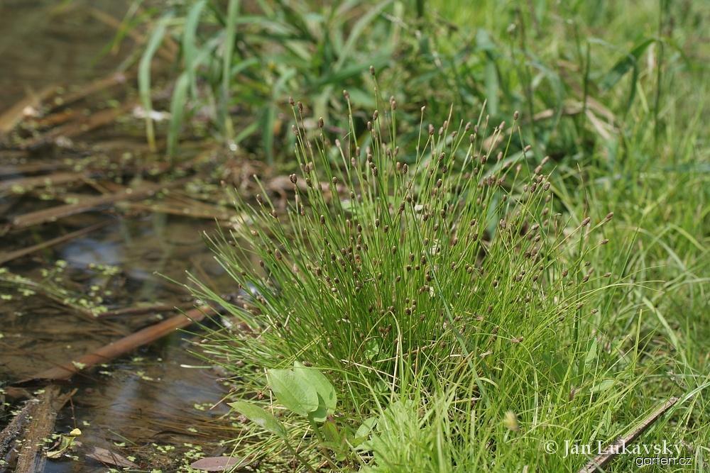 Bahnička vejčitá (Eleocharis ovata)