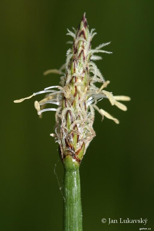 Bahnička mokřadní - květ (Eleocharis palustris)