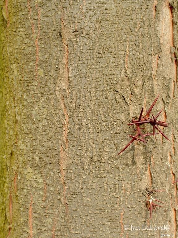 Dřezovec trojtrnný (Gleditsia triacanthos)