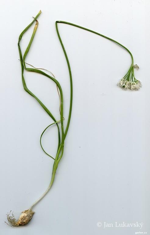 Česnek libanonský (Allium zebdanense)